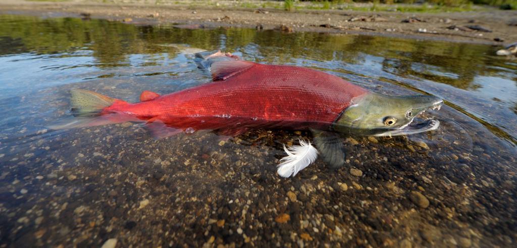 Ученые и экологи бьют тревогу: скоро красная рыба окажется в Красной книге