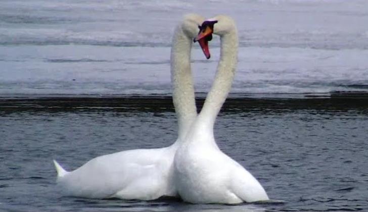 Вот это исполнение: лебеди станцевали вальс на воде (видео)