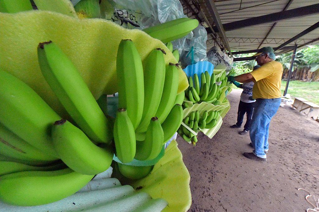 Бананы оказались на грани исчезновения из-за почвенного гриба