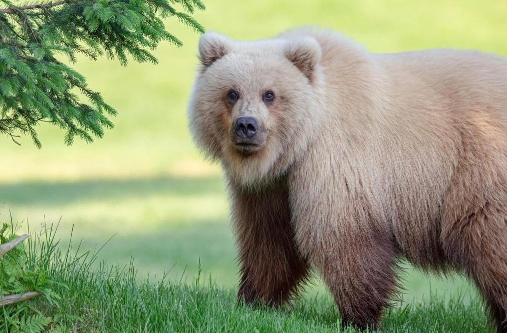 Медведи-гибриды все чаще появляются на Аляске — это потомство белых медведей и гризли