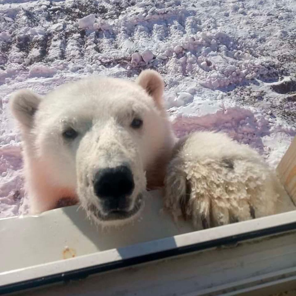 Детеныша белых медведей спасли на острове Большевик вахтовики