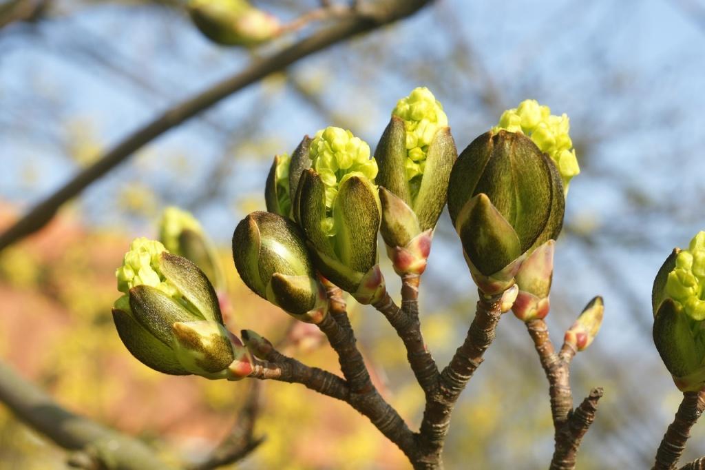 Во время весеннего авитаминоза в блюда можно добавлять почки деревьев