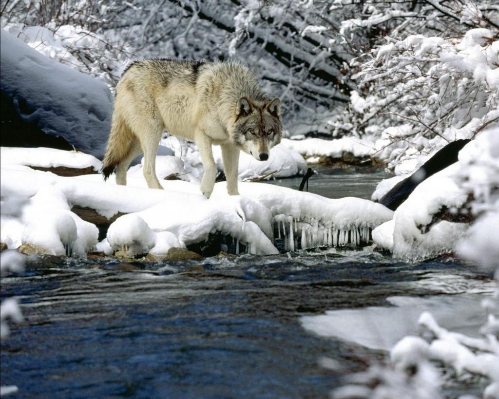 Страх волков: зоологи рассказали, бояться ли нашествия хищников в 2021-м