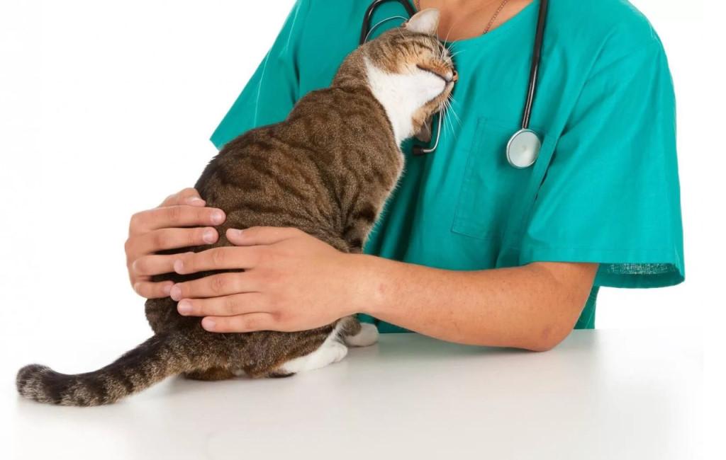 Ветеринары жалуются на дефицит препарата, которым вакцинируют кошек для профилактики вирусных заболеваний