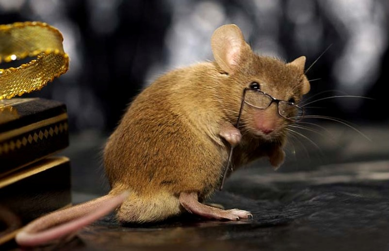 Ученые выявили признаки абстрактного мышления у грызунов: мыши умеют сортировать информацию