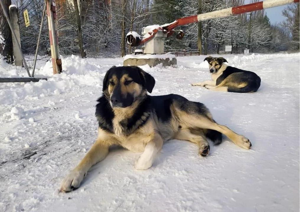 У некоторых есть имена, у других нет: бродячие собаки Чернобыля за 35 лет не утратили связи с людьми
