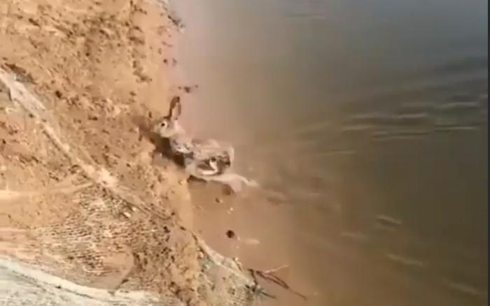 Умеют ли кролики плавать? На видео видно, как питомец добровольно переплыл водоем