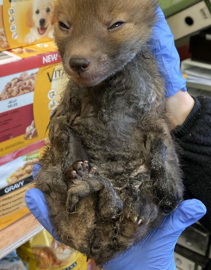 В Шотландии зоозащитники спасли лисенка из клеевой ловушки