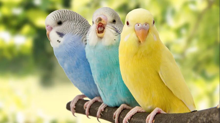 Четное количество в клетке: большинство хозяев волнистых попугаев содержат их в неправильных условиях