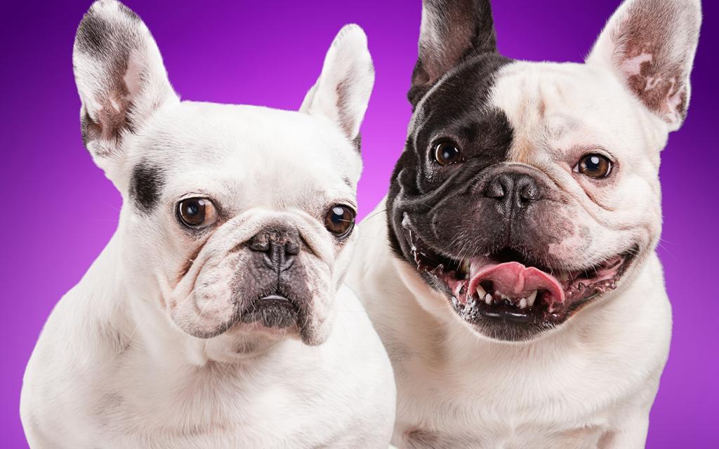 Почему мы любим мопсов и других курносых собак. Все дело в глазах