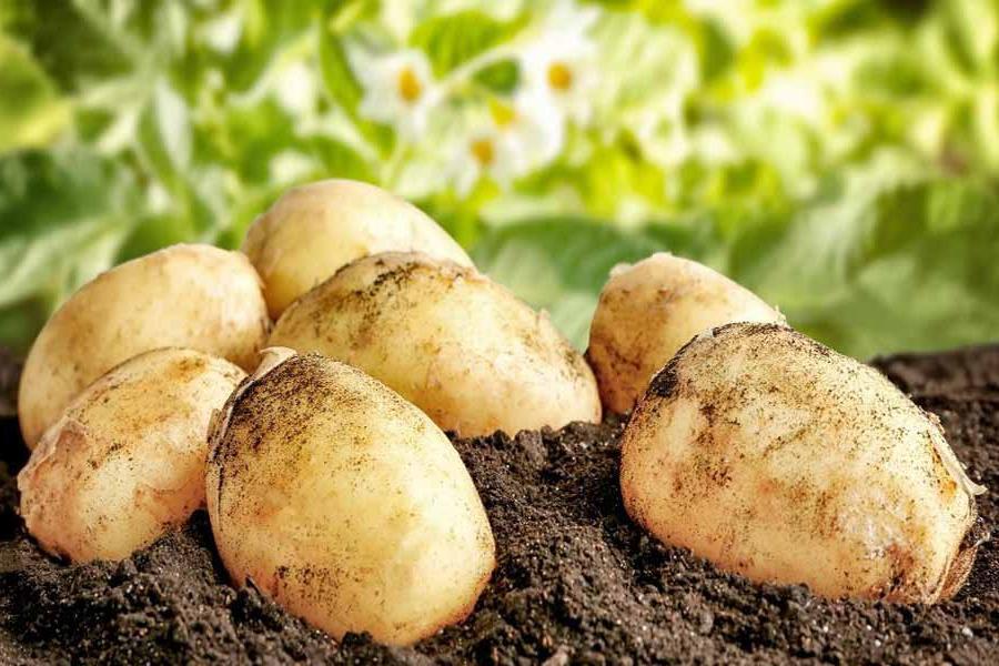Российские ученые разработали вертикальную ферму, которая позволяет выращивать до шести урожаев картошки в год