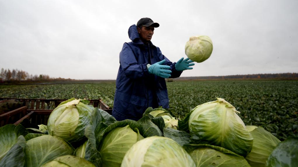 Кочан с голову: изучение генов капусты позволило приблизиться к получению более крупных урожаев овоща