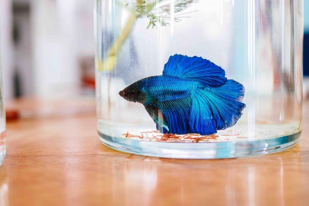 Рыбка-петушок может жить в общем аквариуме: разбираем 5 самых распространенных мифов
