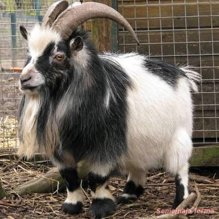 На наших совсем не похожи: какие породы коз разводят на Востоке (фото)