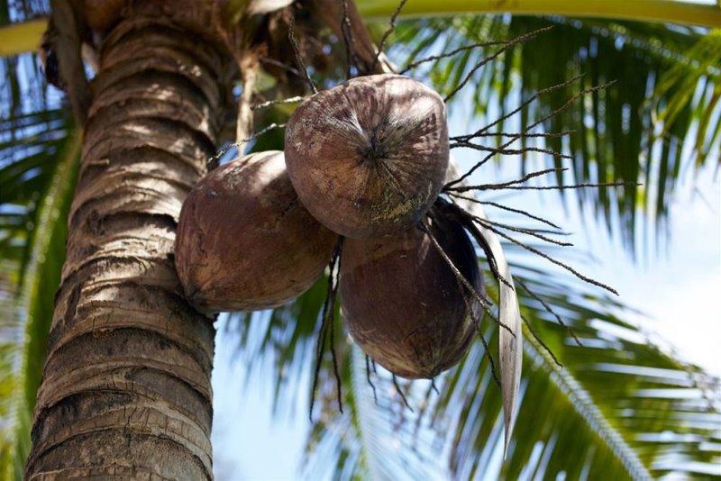 Почему кокосовое масло не подходит тем, у кого пищевая непереносимость чеснока, и какие побочные эффекты у популярного продукта