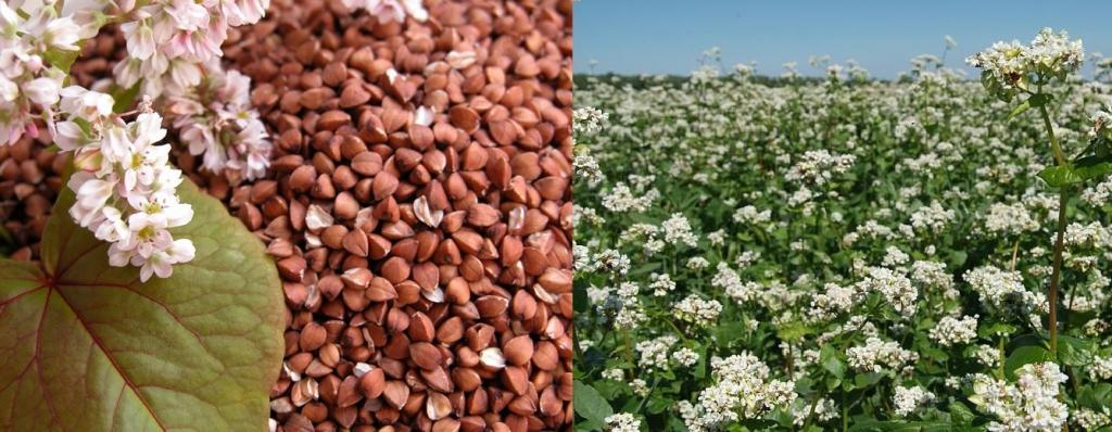 Сельхозпроизводителей 22-23 июля бесплатно обучат производству органической гречихи
