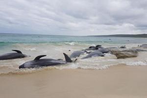 150 китов выбросились на берег в Австралии: стоит ли винить в этом человека?