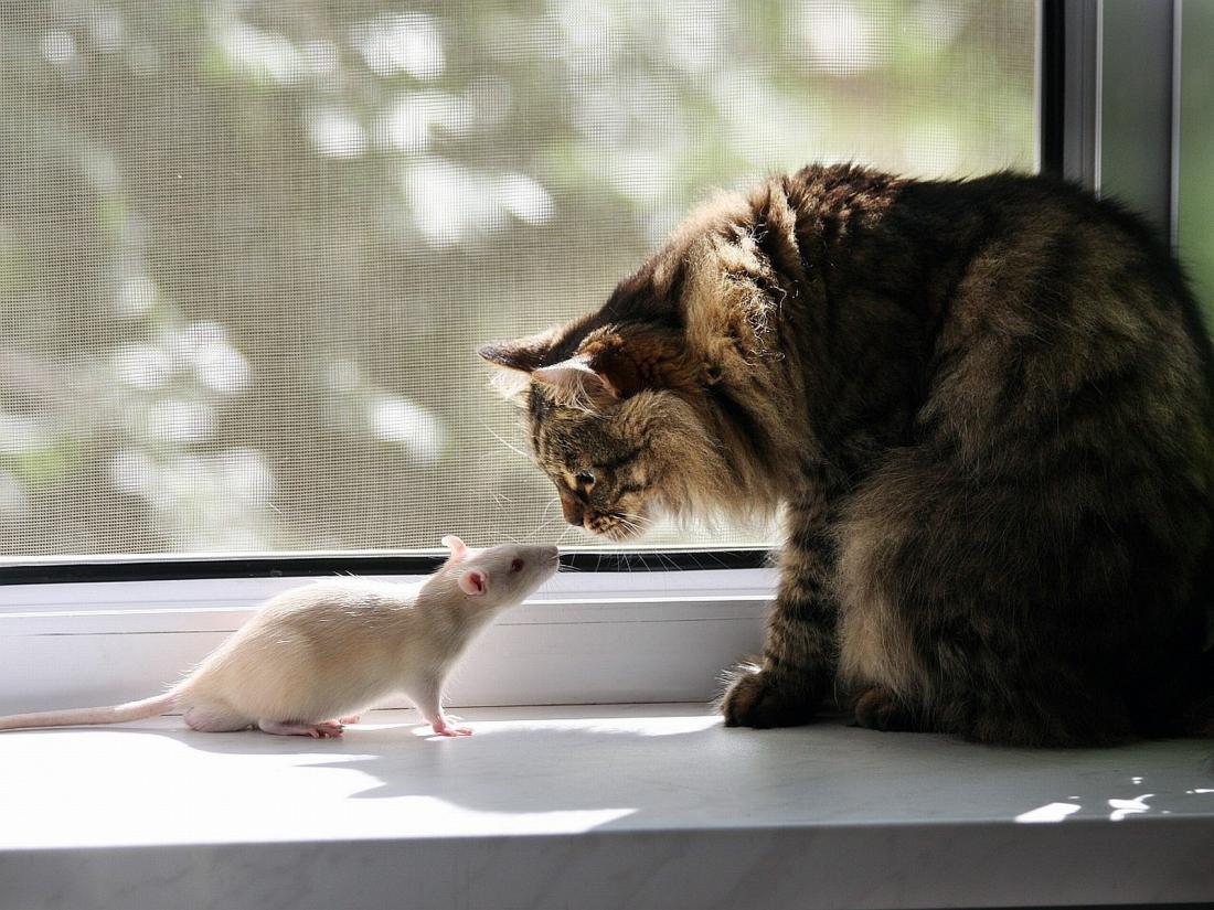 Картинки котенок и мышь дело том
