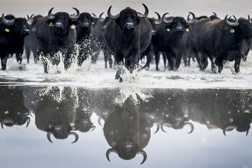 картинки стадо быков больших окон