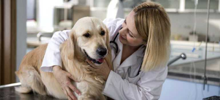 Как измерить температуру у собак. Разница показателей у мелких и крупных пород