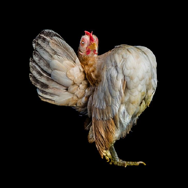 Необычный конкурс красоты: оригинальные фото куриц, сделанные фотографом Эрнестом Го