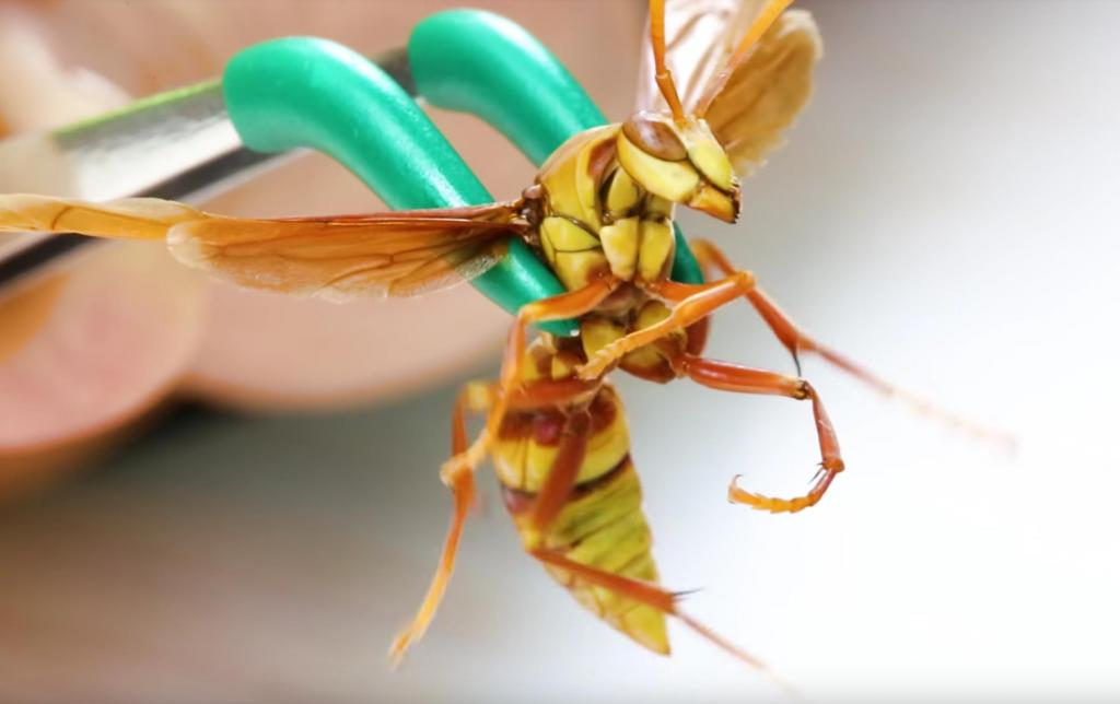 Видеоблогер обнаружил насекомое, которое жалит больнее остальных. А он знает в этом толк