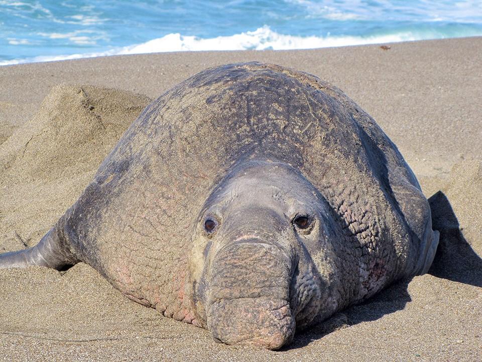 первого фото морского слона животное что начале августа