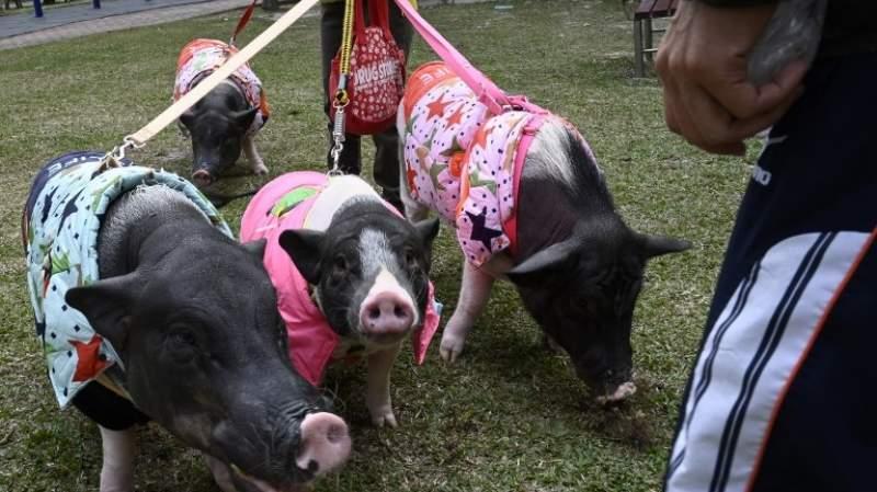 На девятом этаже: женщина живет с четырьмя свиньями и готова ради них пожертвовать многим