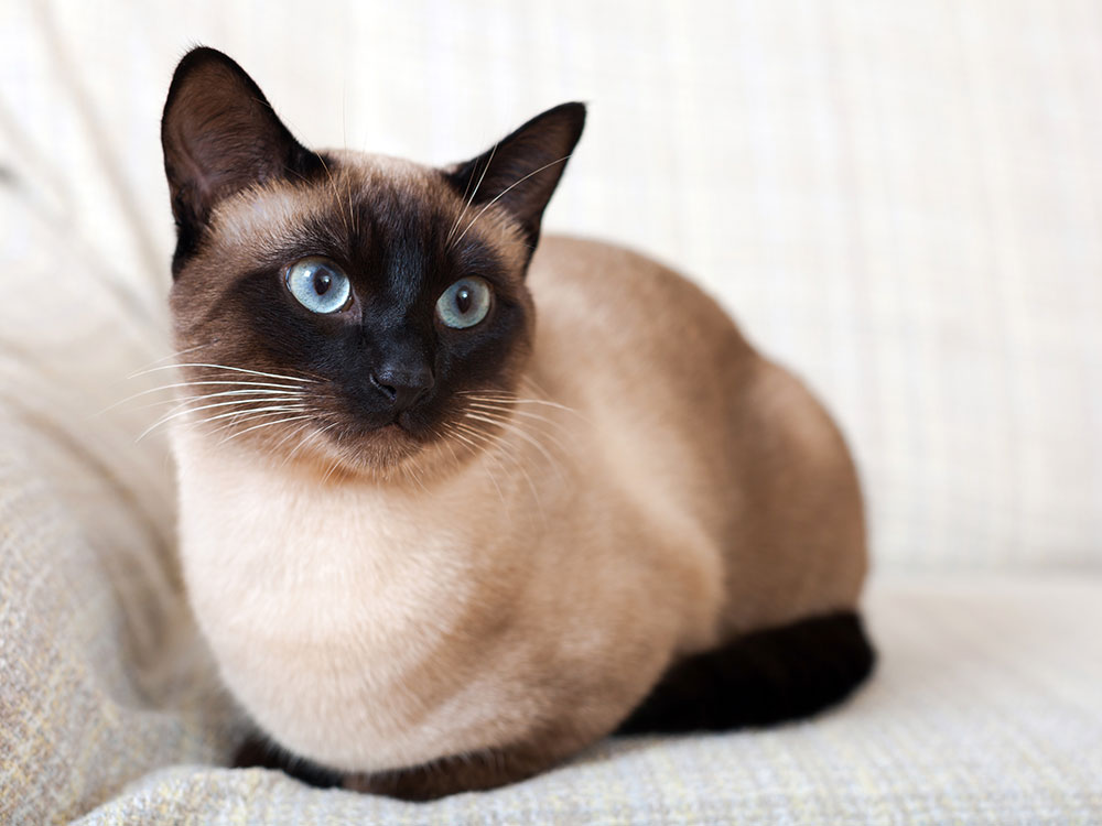 Сутеева новым, картинки сиамские кошки