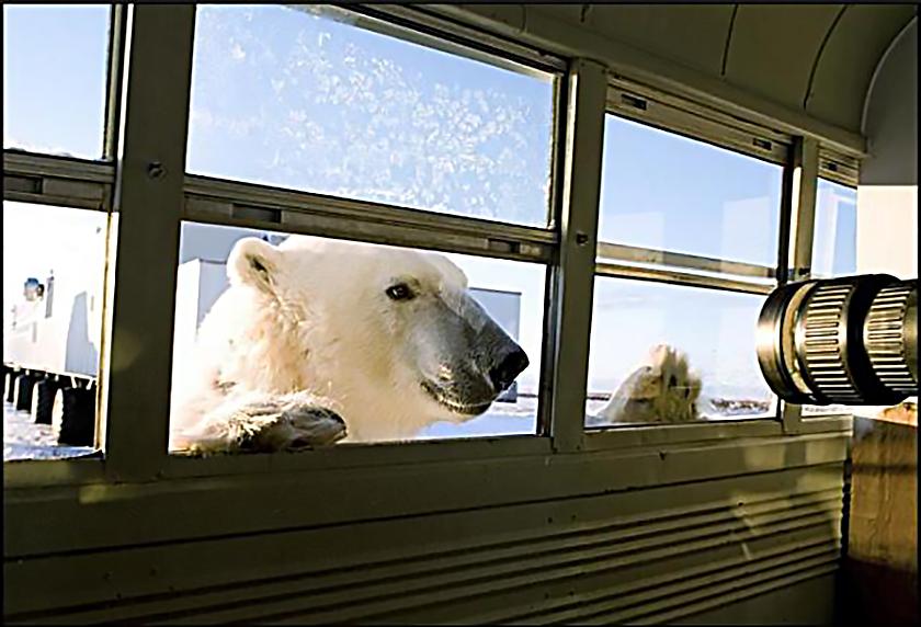 фото белый медведь фургон окно завтрак