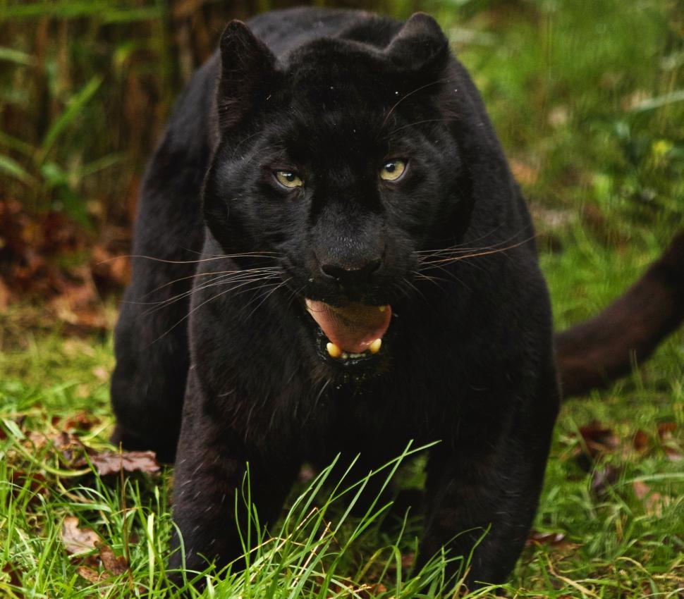 Картинка пантера красивые