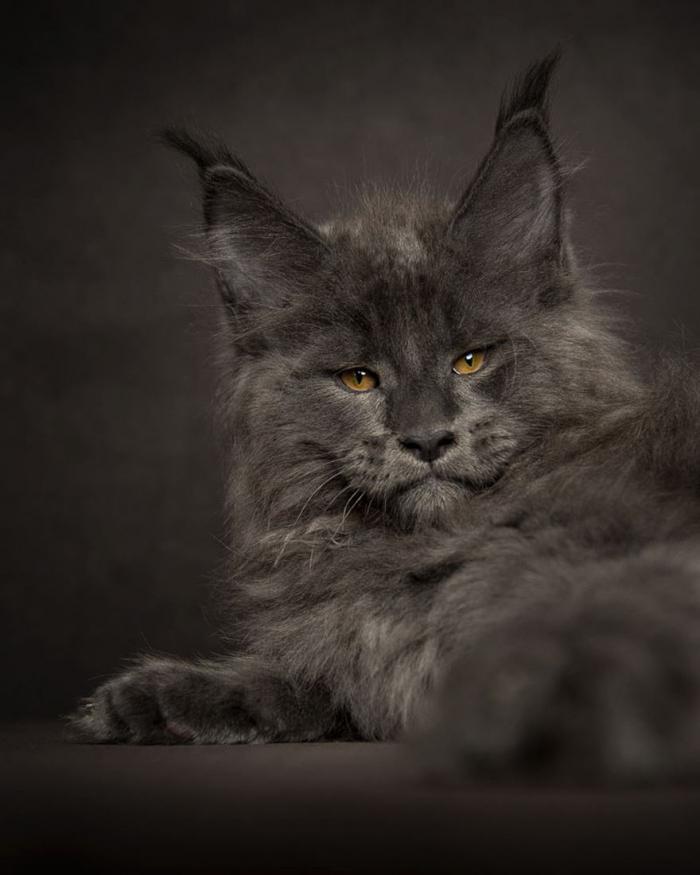 являются кошки и рыси майкуны черно белое фото наш рейтинг