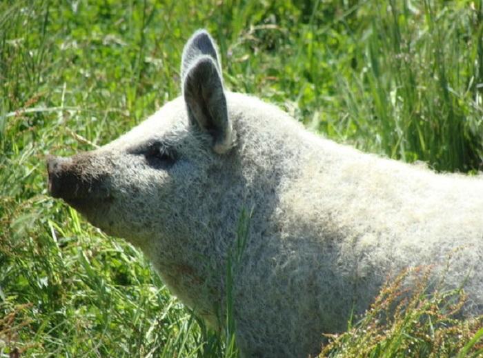 Мохнатые свиньи покоряют своим видом и причудливыми ушами: специалисты рассказали об особенностях породы