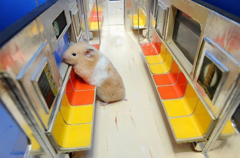 У этого хомяка есть своя линия метро: забавные фото собственника крошечного поезда