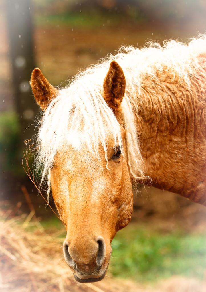 Лошади с завидной кудрявой шевелюрой: фотографии необычной североамериканской породы