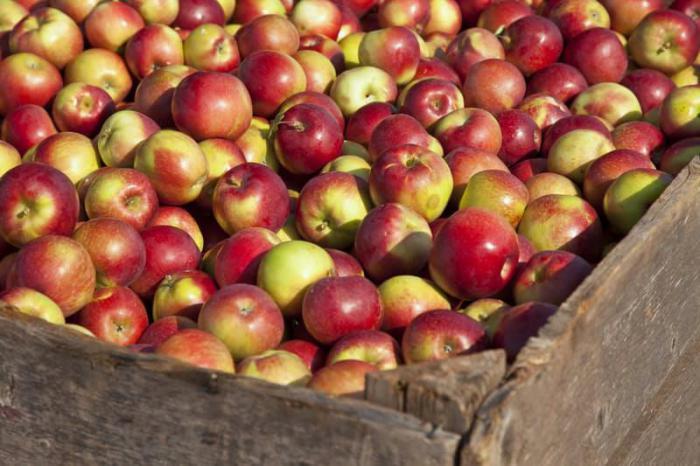 яблоки сорта