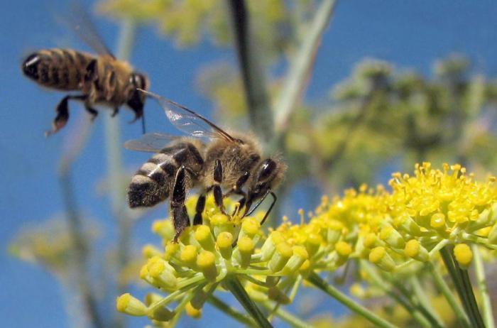 пчелиные колонии