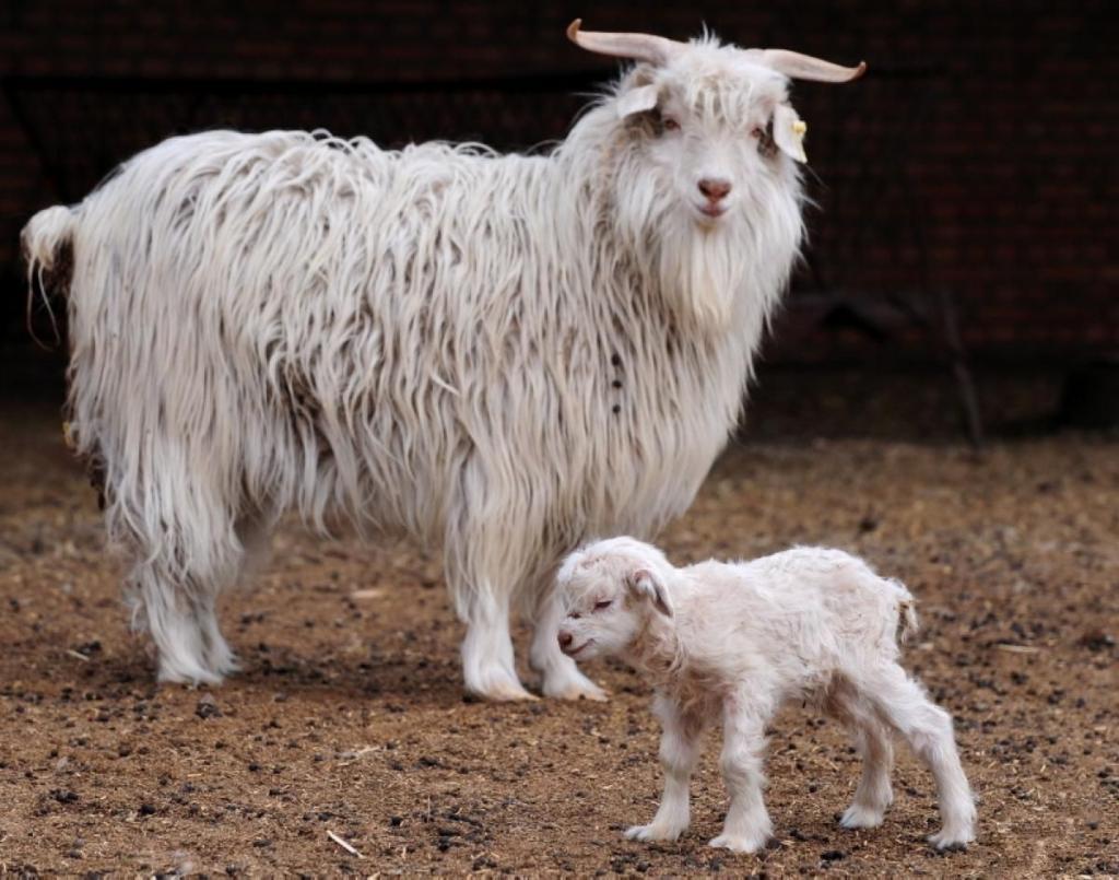 картинка шерсть козы немного ещё чуть-чуть
