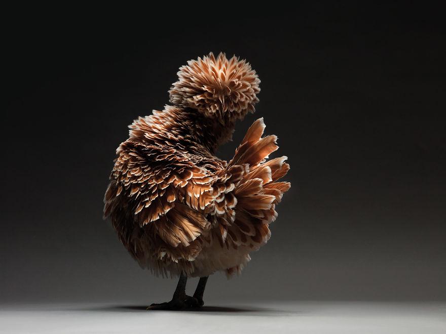 Недооцененная красота: фотограф делает снимки кур, на которых они выглядят как настоящие модели (фото)