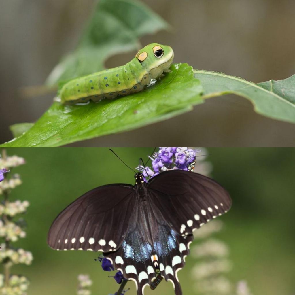 Картинка гусеницы и бабочки