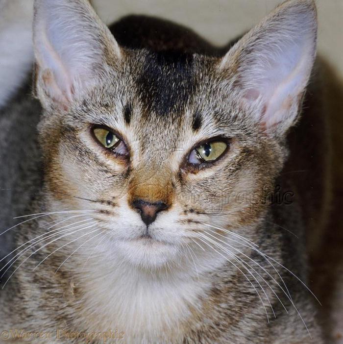 кошки с раскосыми глазами фото плотная, прямая