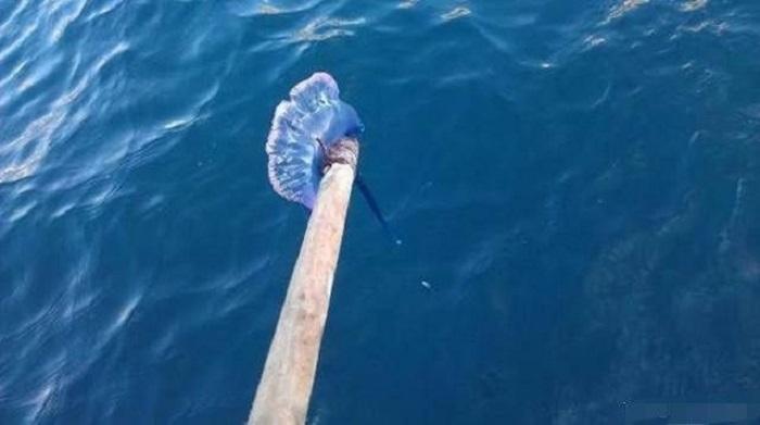 Маленькая девочка увидела на берегу разноцветный предмет, похожий на красивый пакет. К счастью, к ней подоспел отец, который выпустил в море ядовитую медузу
