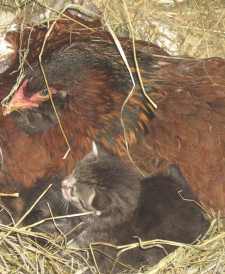 Курица пряталась от фермера и почти не выходила на улицу. Тогда он решил заглянуть к ней в гнездо