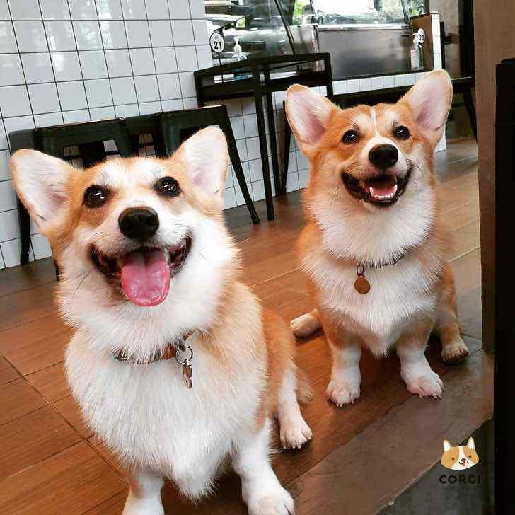 Корги-кафе: загляните в место, где очень много милых собак