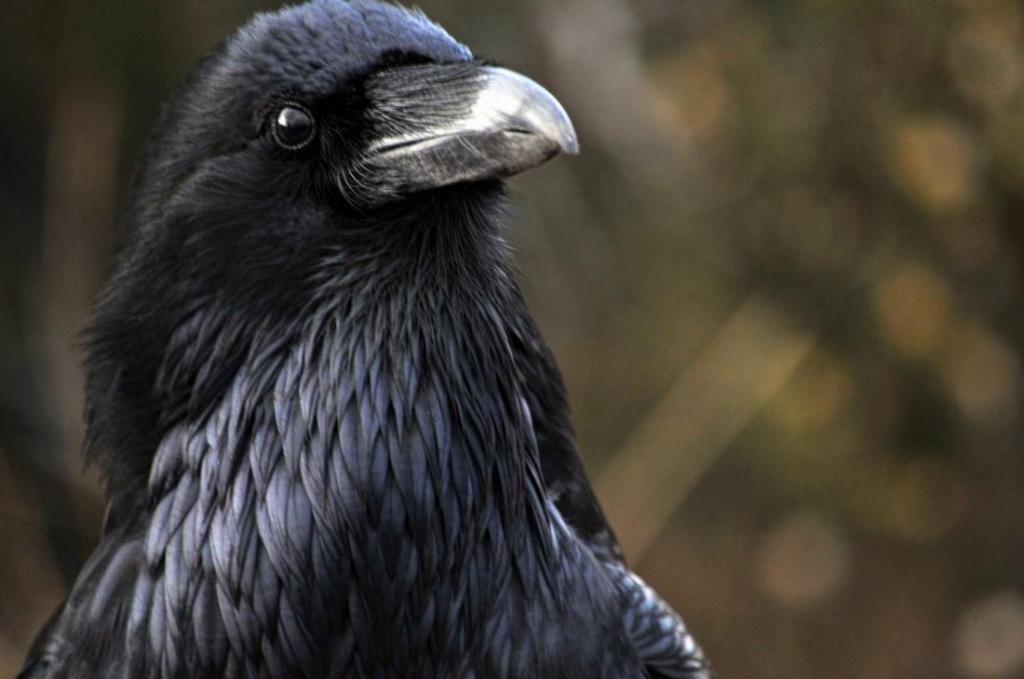 Они умны, сообразительны и могут запомнить обидчика: 5 интересных фактов о воронах