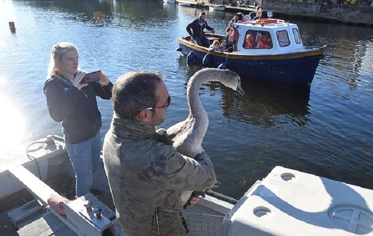 Мужчина выходил лебеденка и вернул его в естественную среду. Но тот так и не смог ужиться с сородичами, тоскуя по хозяину