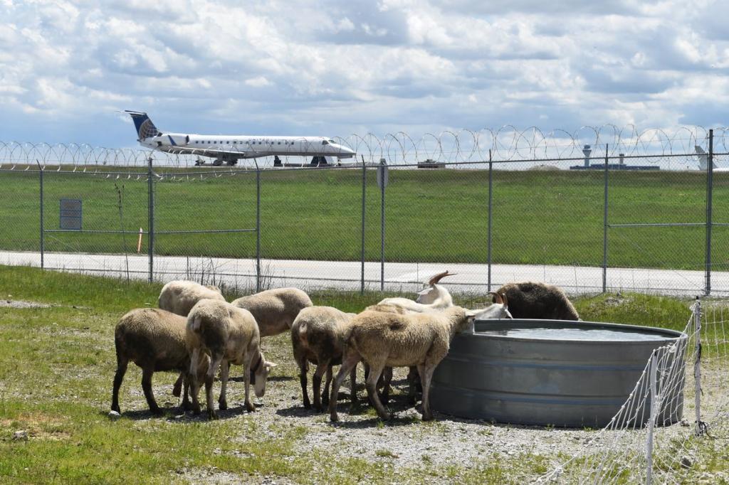 """Овечки идут """"работать"""" в аэропорт: в Бельгии нашли альтернативу газонокосилкам"""