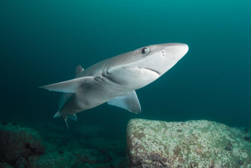 Нечего бояться? Почему акулы избегают Черного моря