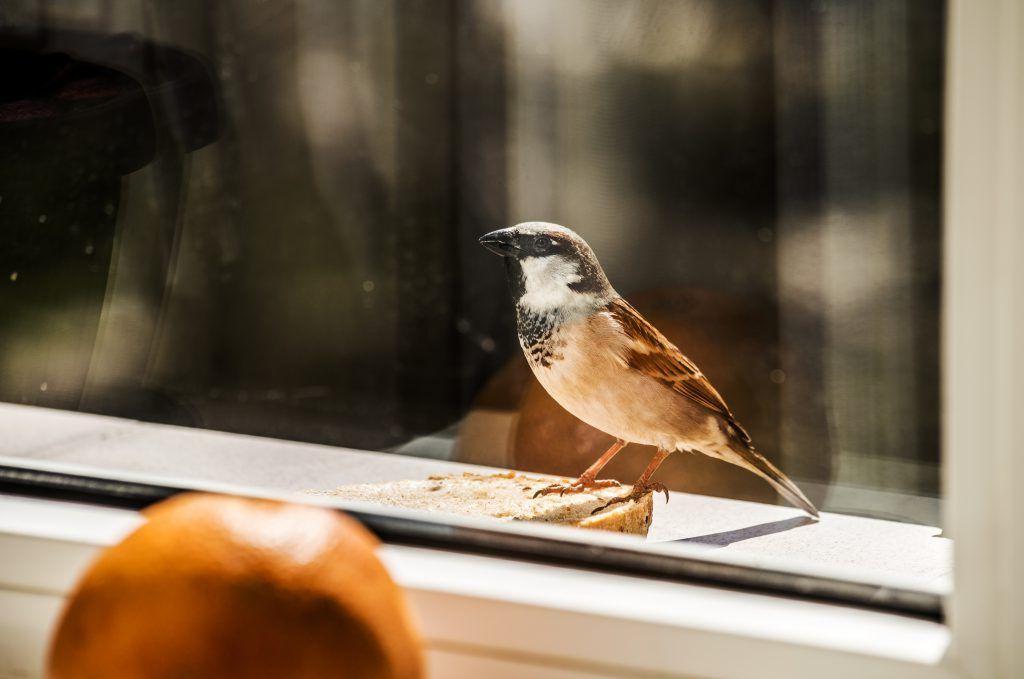 Воробей стучит в окно: примета