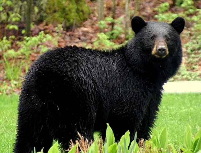 the background information of the black bears Howmany bears can live in this forest objectives students will (1) students with the background information about black bears so that they can compare.